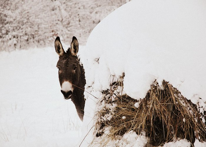 Donkey Greeting Card featuring the photograph Jenny by Cheryl Helms