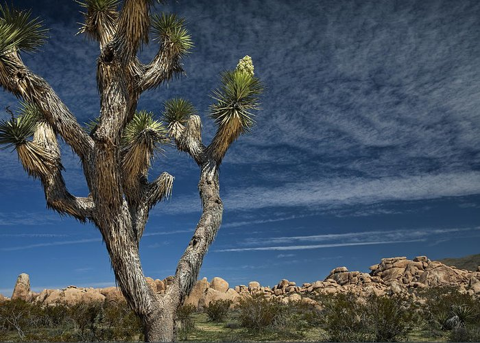 Art Greeting Card featuring the photograph Joshua Tree In Joshua Tree National Park No. 279 by Randall Nyhof