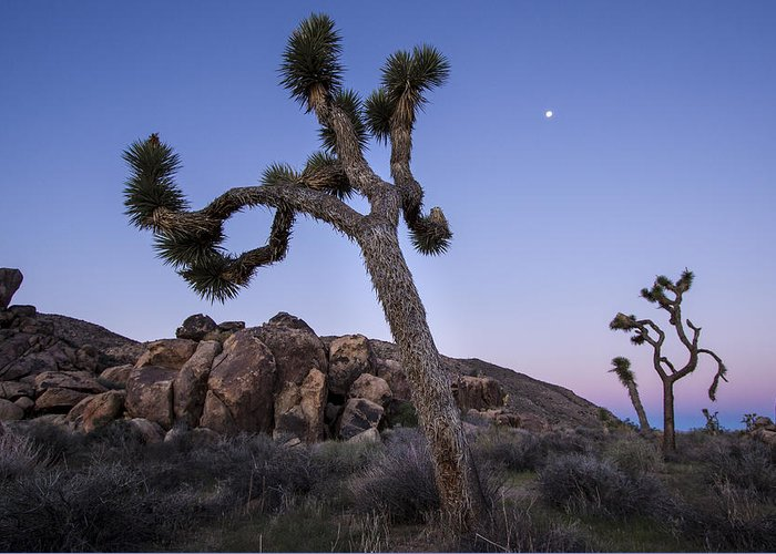 Nature Greeting Card featuring the photograph Joshua Trees In The Morning by Chris Cusumano