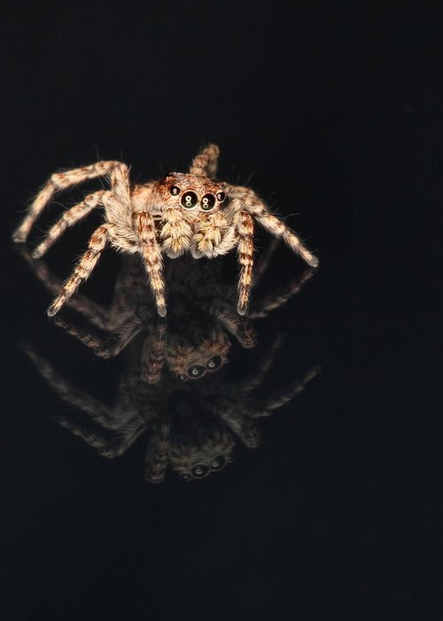 Salticidae Greeting Card featuring the photograph Jumping Spider by Robin Martin