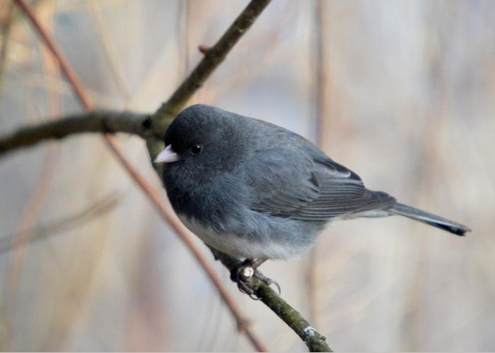Dark-eyed Junco Greeting Card featuring the photograph Junco by Thomas Phillips