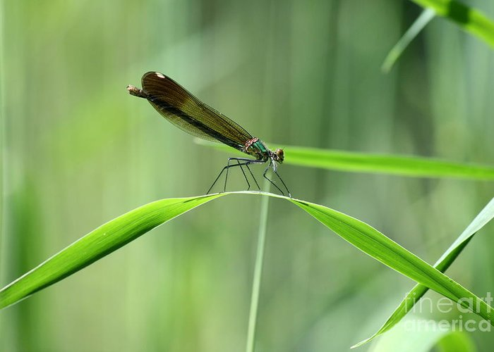 Damselfly Greeting Card featuring the photograph June Damselfly by Neal Eslinger