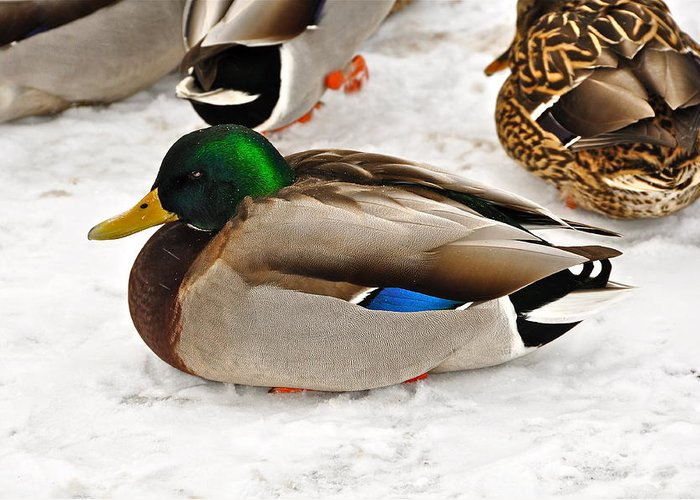 Duck Greeting Card featuring the photograph Just Ducky by Catherine Renzini
