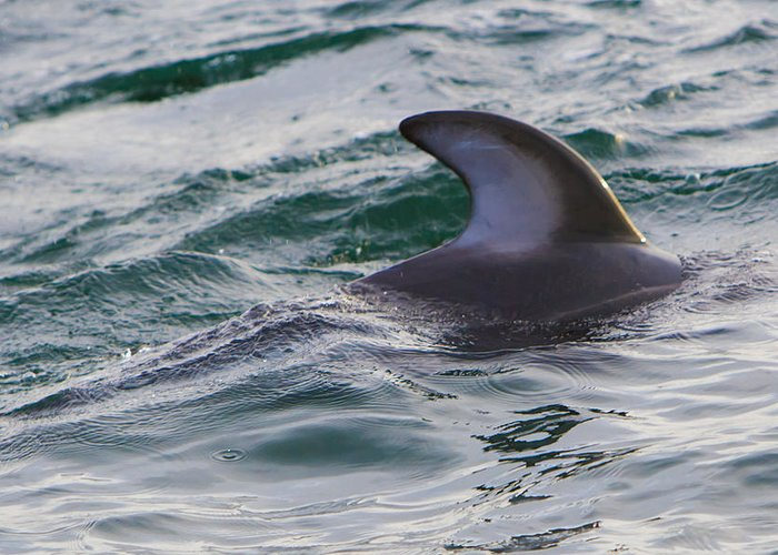Dolphins Greeting Card featuring the photograph Just The Dorsal by Scott Campbell