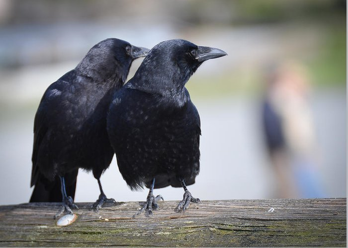 American Crows Greeting Card featuring the photograph Just The Two Of Us by Ronda Broatch