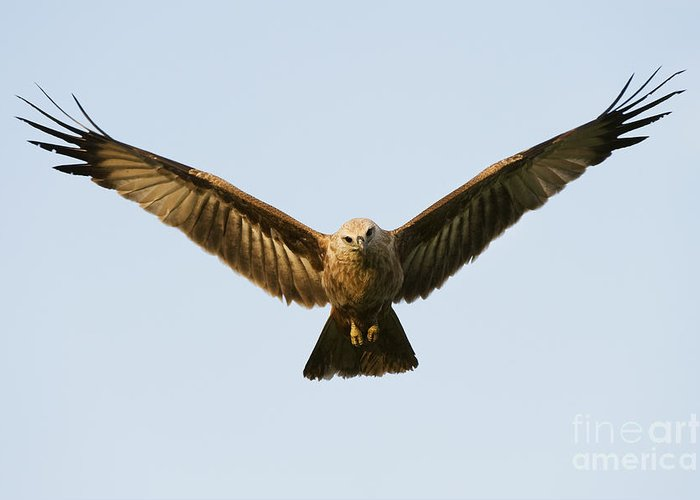 Brahminy Kite Greeting Card featuring the photograph Juvenile Brahminy Kite Hovering by Tim Gainey