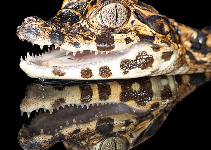 Alligator Greeting Card featuring the photograph Juvenile Cayman by Dirk Ercken