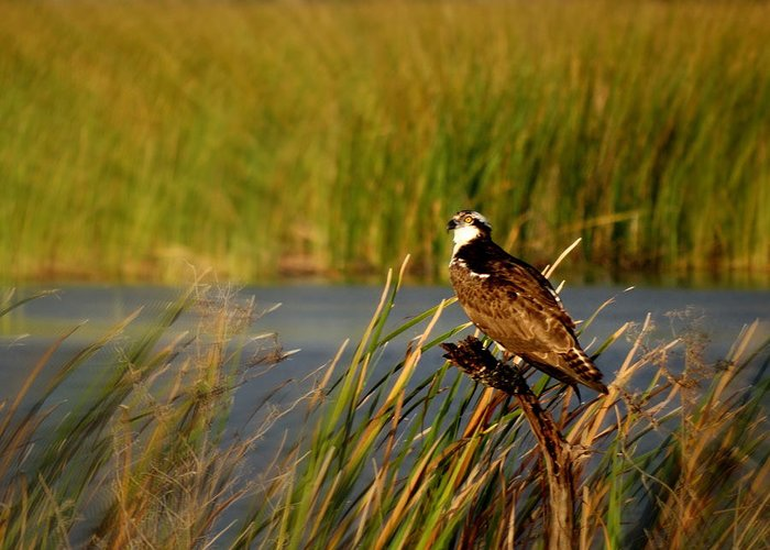 Osprey Greeting Card featuring the photograph Juvenile Osprey by Ines Ganteaume
