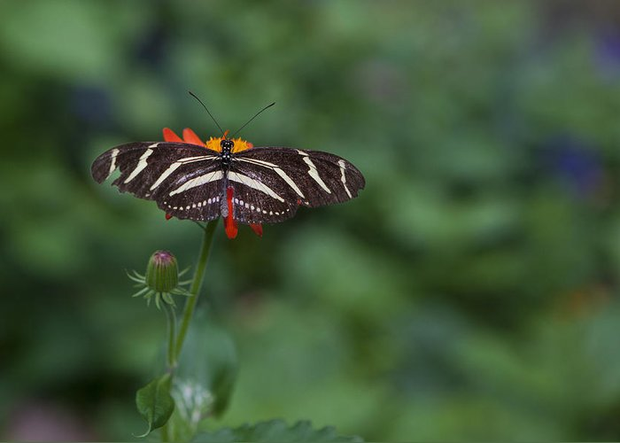 Butterfly Greeting Card featuring the photograph Kanapaha Butterfly I by Charles Warren