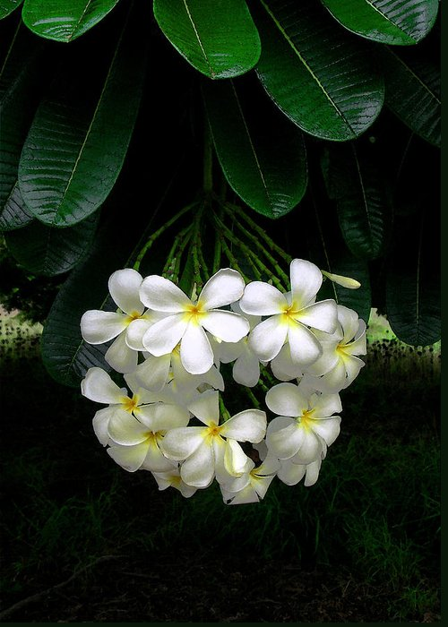 Hawaii Iphone Cases Greeting Card featuring the photograph Kawela Plumeria by James Temple