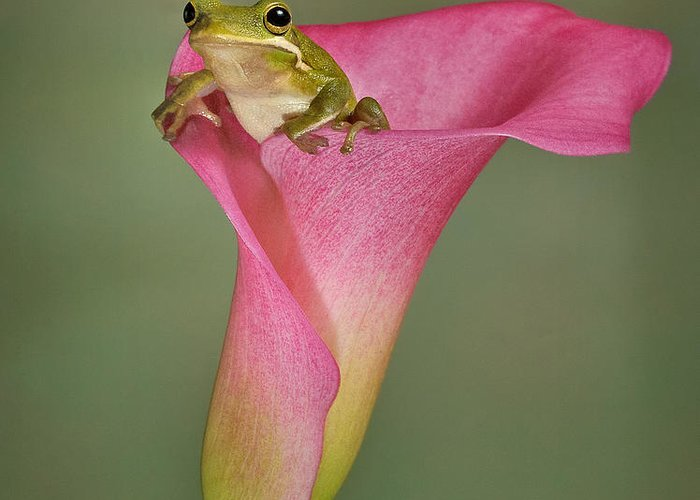Calla Greeting Card featuring the photograph Kermit Peeking Out by Susan Candelario