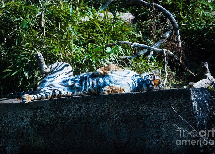 Tiger Greeting Card featuring the photograph Kickin Back In The Sun by Rich Priest
