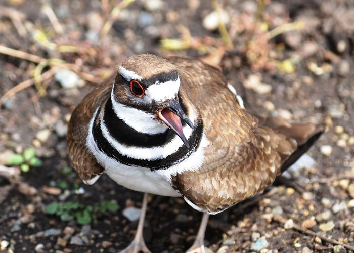 Brown Greeting Card featuring the photograph Killdeer Bird by P S