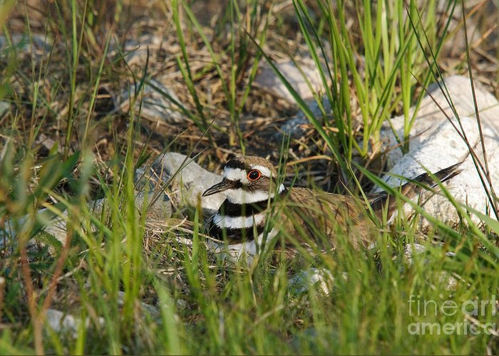 Killdeer Greeting Card featuring the photograph Killdeer by Linda Freshwaters Arndt