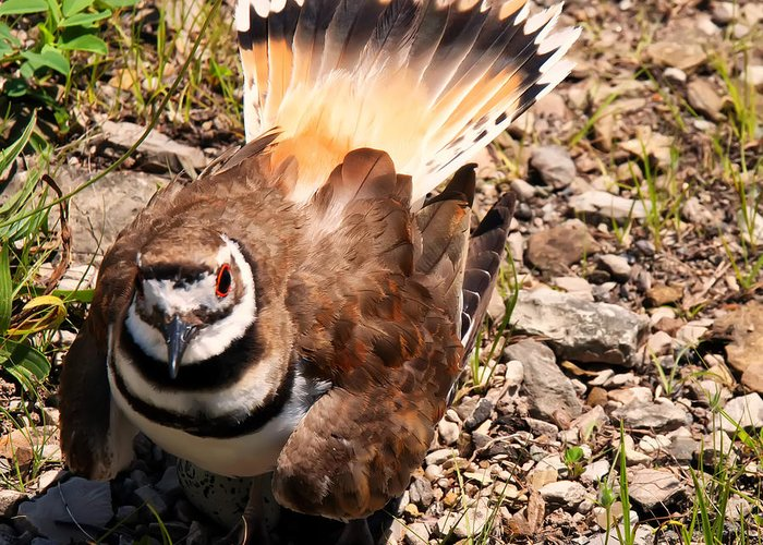 Killdeer Greeting Cards