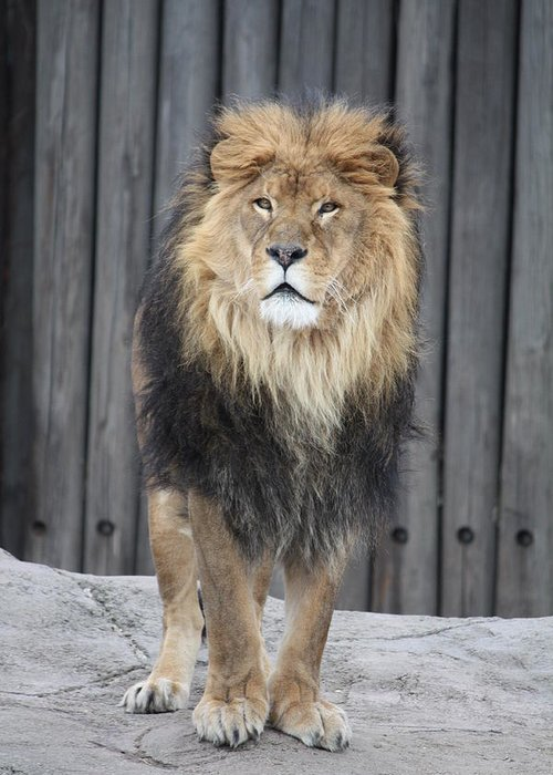 Lion Greeting Card featuring the photograph King Lion by Paula Thomas