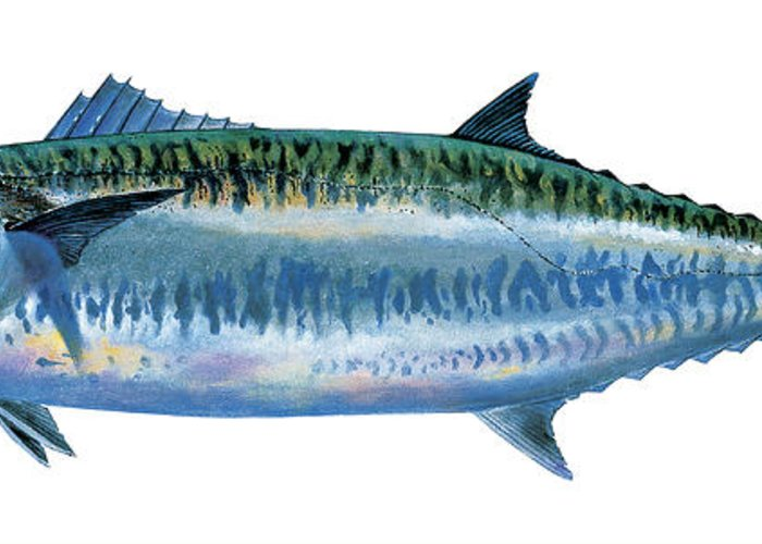 Kingfish Greeting Card featuring the painting King Mackerel by Carey Chen