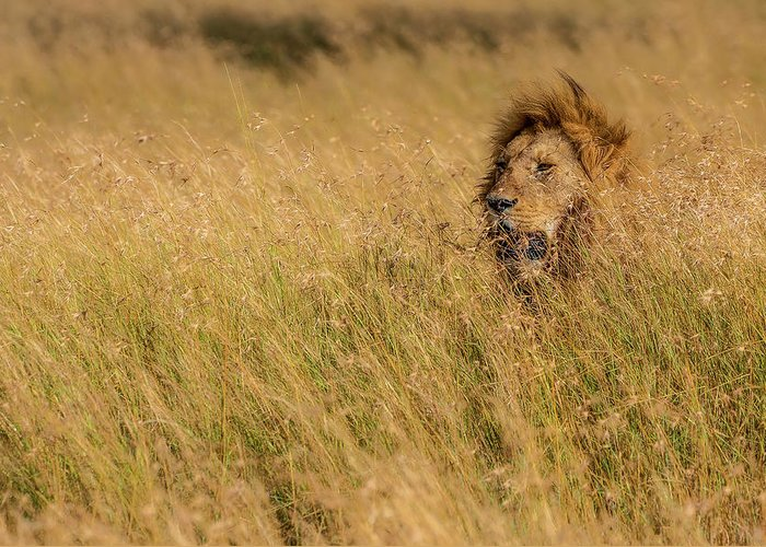 Lion Greeting Card featuring the photograph King by Mohammed Alnaser