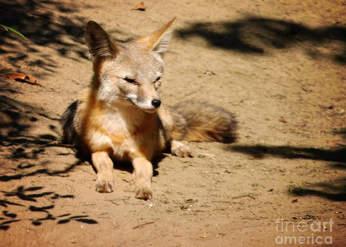 Kit Fox Greeting Card featuring the photograph Kit Fox On Campus by Meghan at FireBonnet Art