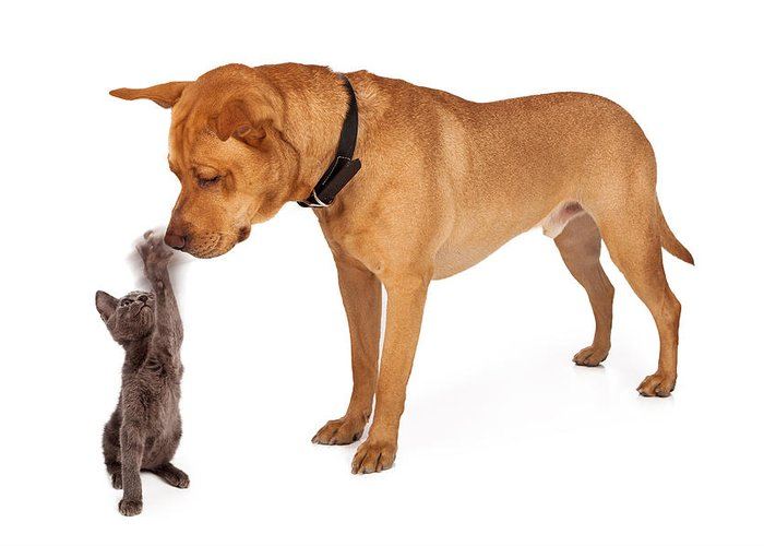 Dog Greeting Card featuring the photograph Kitten Batting At Nose Of Large Breed Dog by Susan Schmitz