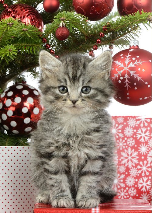 Xmas Greeting Card featuring the photograph Kitty Xmas Present by MGL Meiklejohn Graphics Licensing