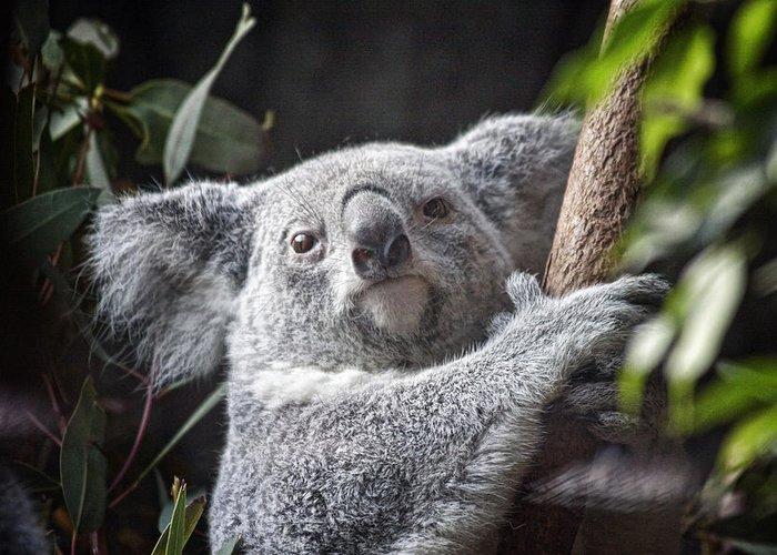 Marsupial Greeting Cards