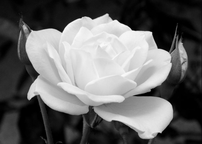 White Rose Greeting Card featuring the photograph La Rosa In Black And White by Randal Higby