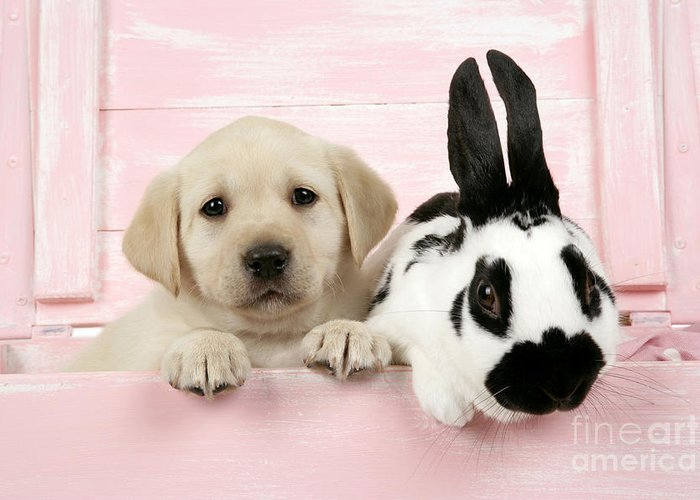 Labrador Retriever Greeting Card featuring the photograph Lab Puppy And Bunny by John Daniels