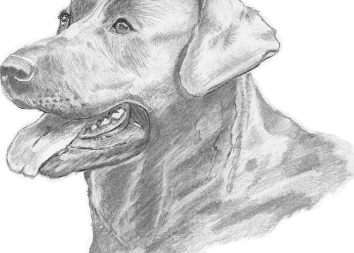 Labrador Greeting Card featuring the drawing Labrador Dog Drawing by Catherine Roberts