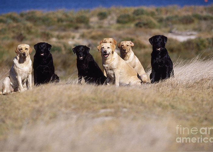 Labrador Retriever Greeting Card featuring the photograph Labrador Dogs Waiting For Orders by Chris Harvey