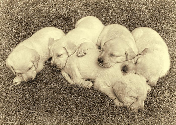 Puppy Greeting Card featuring the photograph Labrador Retriever Puppies Nap Time Vintage by Jennie Marie Schell