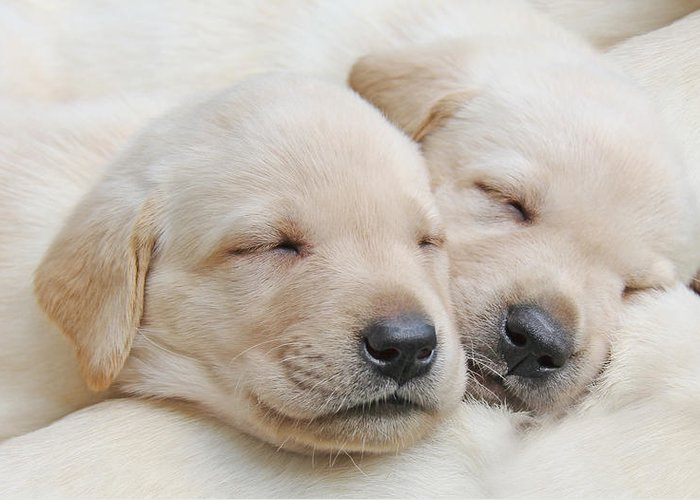 Puppy Greeting Card featuring the photograph Labrador Retriever Puppies Sleeping by Jennie Marie Schell