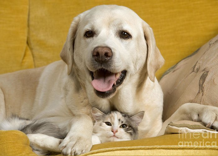 Labrador Retriever Greeting Card featuring the photograph Labrador With Cat by Jean-Michel Labat