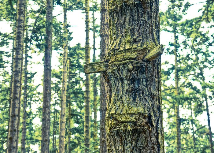 Fir Trees Greeting Card featuring the photograph Ladder Tree by Ronda Broatch