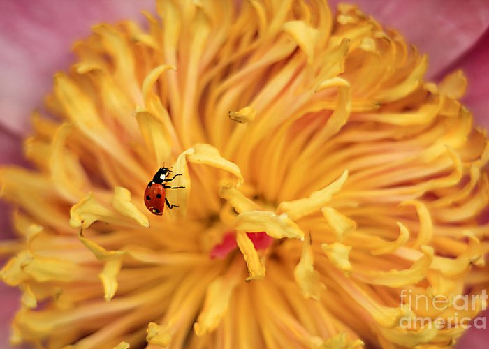 7-spot Greeting Card featuring the photograph Lady Bug by Darren Fisher