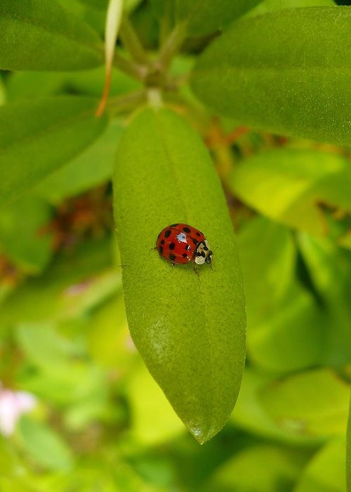 Lady Greeting Card featuring the photograph Lady Bug Leaf by Nicki Bennett
