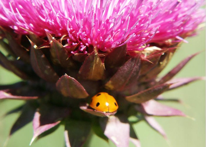 Ladybug Greeting Card featuring the photograph Ladybug And Thistle by Marilyn Hunt