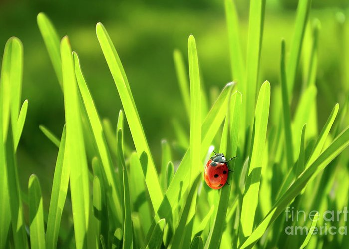 Autumn Greeting Card featuring the photograph Ladybug In Grass by Carlos Caetano