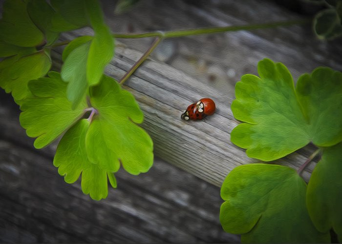 Animal Greeting Card featuring the photograph Ladybugs Mating by Aged Pixel
