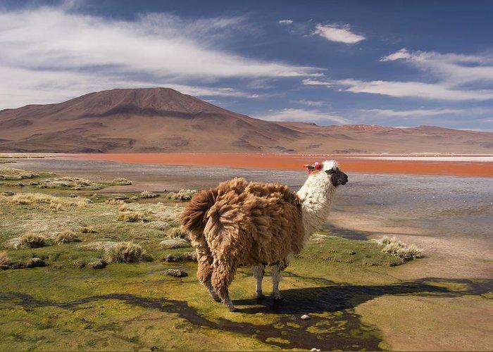 Scenics Greeting Card featuring the photograph Laguna Colorado Lake With Llama by John Elk