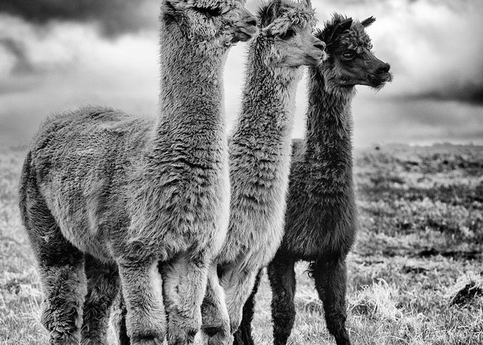 Llamas Greeting Cards