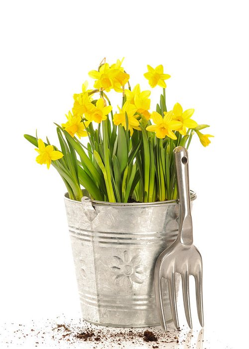 Spring Greeting Card featuring the photograph Large Bucket Of Daffodils by Amanda Elwell
