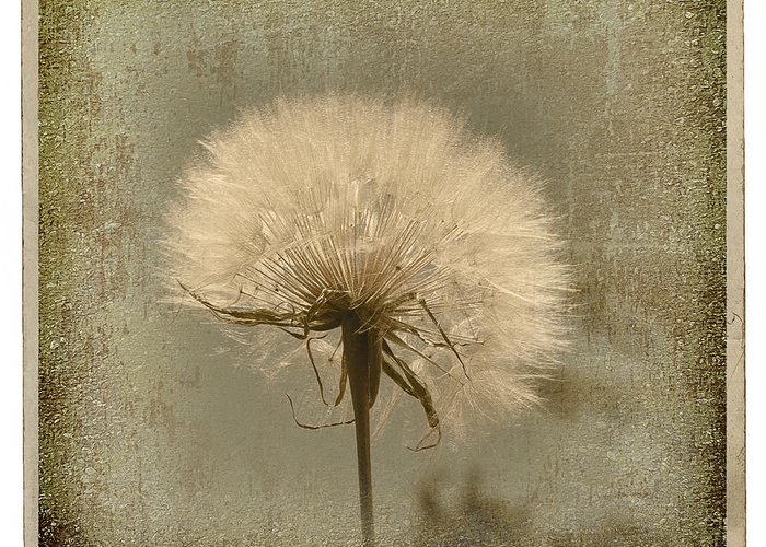 Flower Greeting Card featuring the photograph Large Dandelion by Linda Olsen