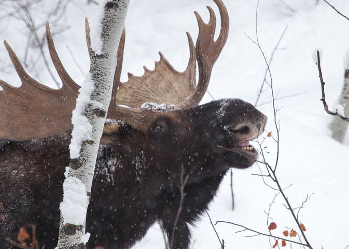Moose Greeting Card featuring the photograph Last Leaves by Kevin Dietrich
