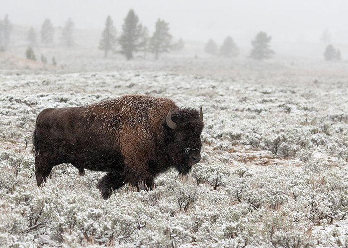 Bison Greeting Card featuring the photograph Late Fall Yellowstone by Alfred Forns