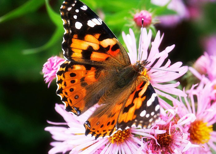 Flower Greeting Card featuring the photograph Late Summer Painted Lady by Marilyn Hunt
