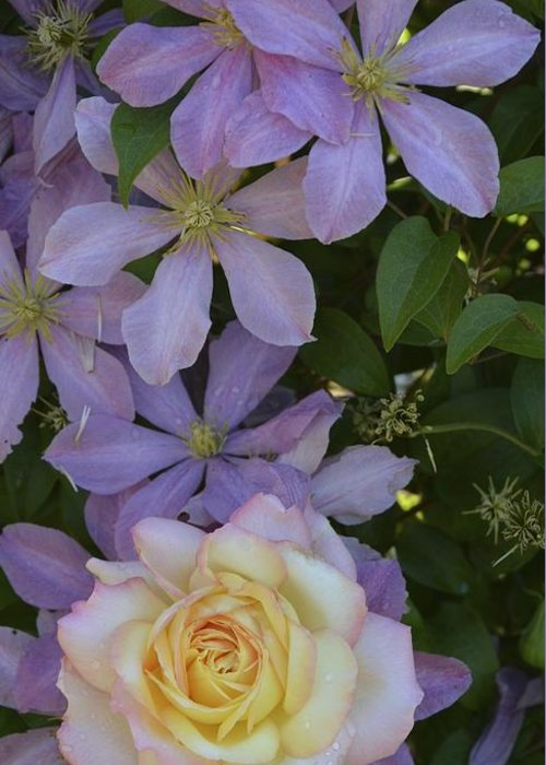 Rose Greeting Card featuring the photograph Lavender Clematis Rose by William Hallett