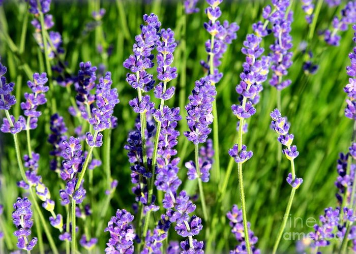 Lavender Greeting Card featuring the photograph Lavender Dream by Carol Groenen