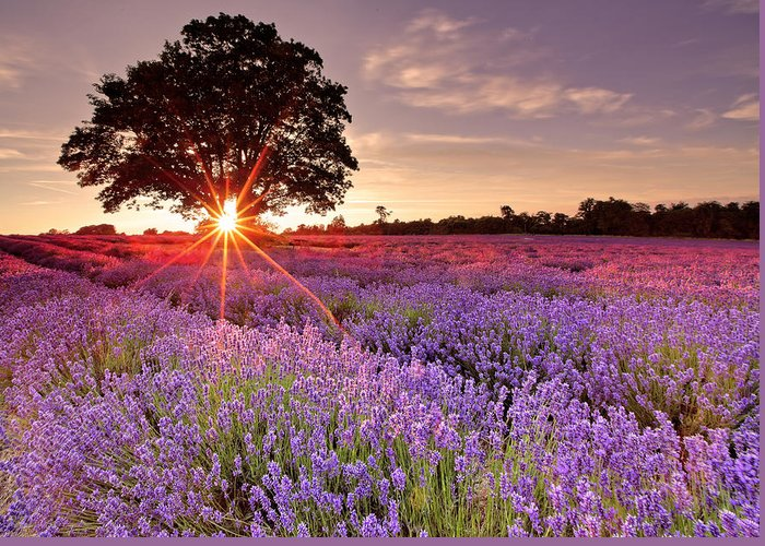 Scenics Greeting Card featuring the photograph Lavender Field by Sandra Kreuzinger