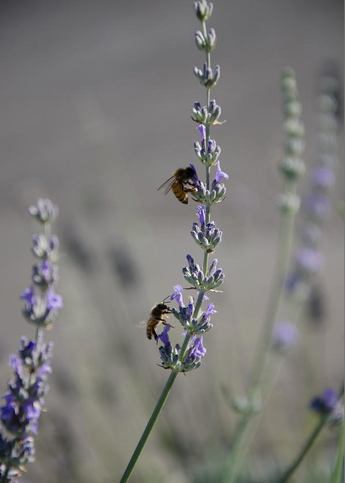 Bee Greeting Card featuring the photograph Lavender Rest Stop by Joie Cameron-Brown